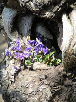 Violets in a tree