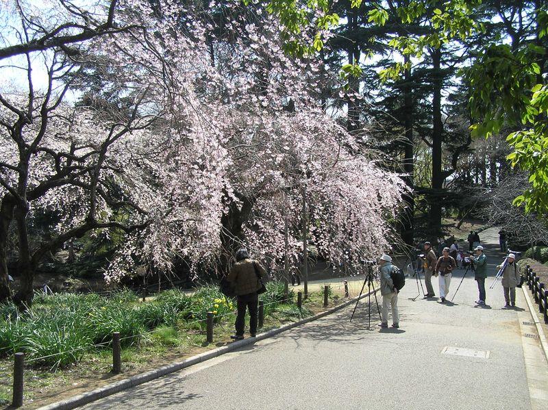 Sakura & photographers