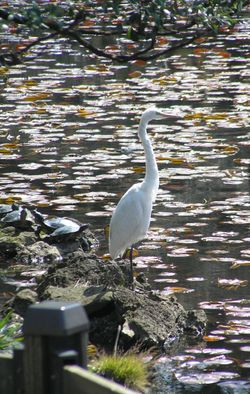 Egret & Turtles