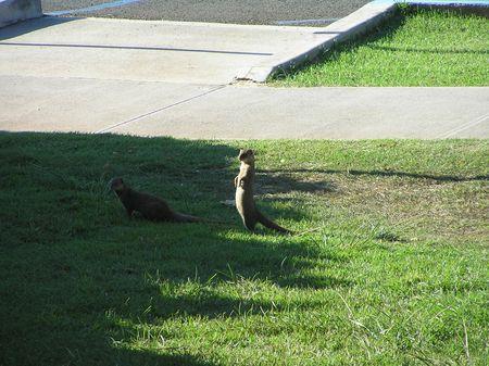 Hanauma Bay mongoose3