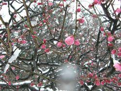 Sakura in snow