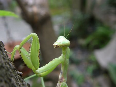 Praying Mantis close up