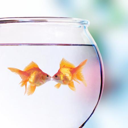 Fairly round goldfish