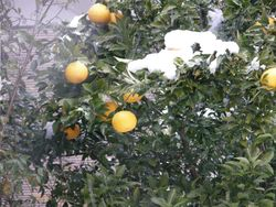 Grapefruit in snow