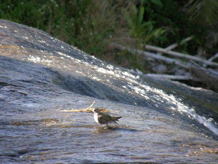 Waterfall bird