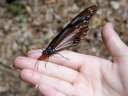 Rhiannon's butterfly