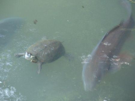 Turtle & Koi