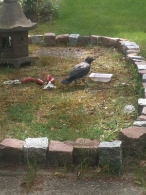 Edgar the Hooded Crow