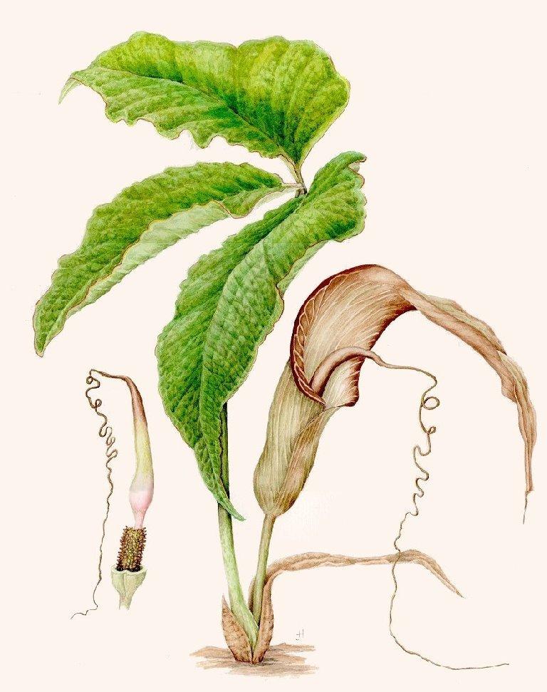 Arisaema propinquum