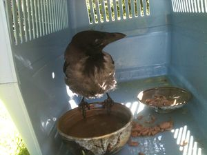 Rescued Hooded crow
