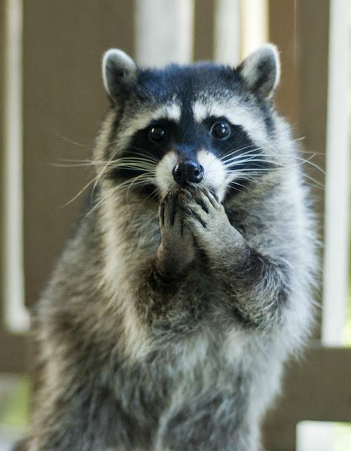 Funny-raccoon